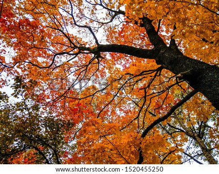 Autumn maple tree branches view. Autumn tree branches background. Autumn tree branches. Autumn tree branches leaves #1520455250