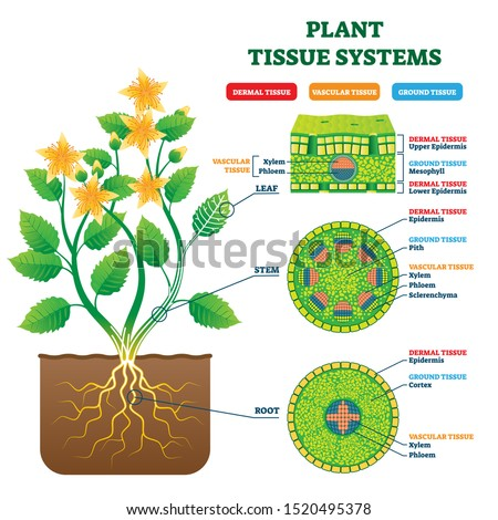 Plant Tissue Systems vector illustration. Labeled biological structure scheme. Anatomical diagram with leaf, stem and root microscopic graphic. Plant inner vascular, dermal and ground cross section. #1520495378