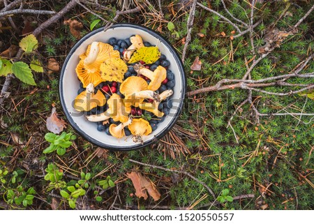 Chanterelles, wild bilberries (blueberries) and lingonberries in a bowl on the moss with fallen pine tree twigs and needles. Wild berries and mushroom foraging in the Nordic forest. #1520550557