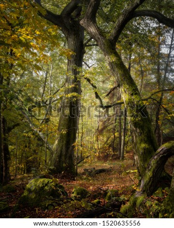 Two tall trees form an arch in a beautiful autumn forest #1520635556