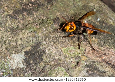 Picture giant hornet (Vespa crabro) Real Asian wasp,Originated in East Asia and the tropics. They like to live in mountains and low forests.