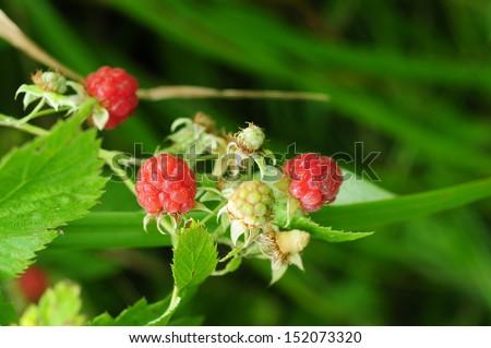 Ripening raspberries on bokeh green background #152073320