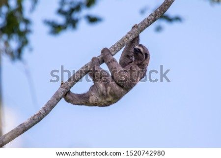 Brown throated sloth photographed in Sooretama Biological Reserve in Linhares, Espirito Santo, Brazil. Picture made in 2013.