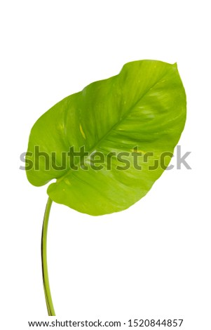 Monstera leaves Isolate on white background, The tropical evergreen vine, Green leaf, The tropical foliage plant. #1520844857