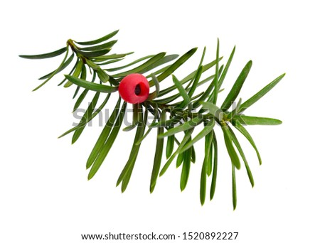 Taxus baccata known as yew, English yew or European yew. Isolated on white background. #1520892227