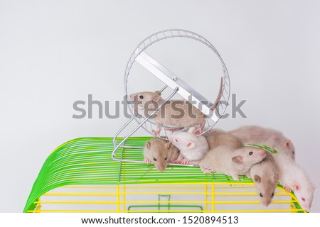 The animal turns the wheel. Mice are sitting on a green cage. Rats in their house. Decorative rodents closeup.
