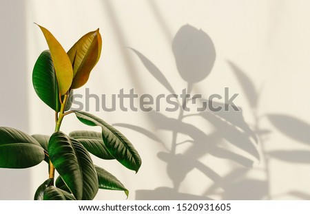 Ficus elastic plant rubber tree on a light background. Shadow of focus on the wall. Close up. Royalty-Free Stock Photo #1520931605