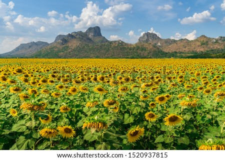 Field of blooming sunflowers ,Lopburi Thailand.  #1520937815