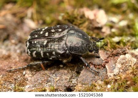 White spotted rose beetle Oxythyrea funesta #1521045368