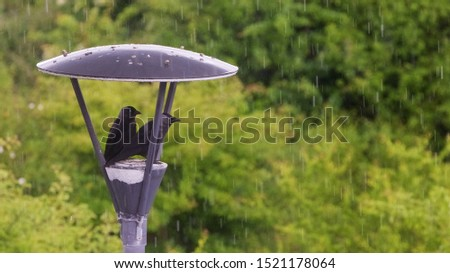 A couple of savvy Jackdaws using a street light canopy as shelter against the all too regular wet Irish weather. (10.JUN.2016) #1521178064
