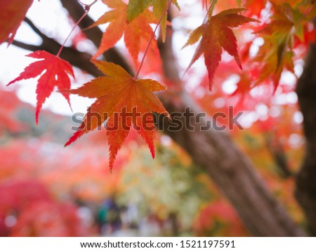 Autumn Colors in Japan. As temperatures dip after the scorching summer, the colors of the leaves change into vibrant shades of orange, red, yellow, and brown.  #1521197591