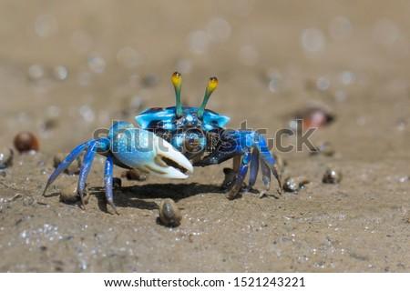 Fiddler crabs, Ghost crabs on mud beach. #1521243221