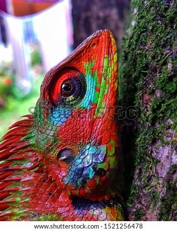 Colourful Garden Lizard - Colombo, Sri Lanka #1521256478