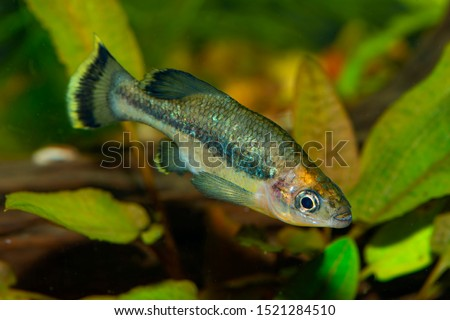 Aquarium fish. The butterfly splitfin or butterfly goodeid, Ameca splendens, is a bony fish from the monotypic genus Ameca of the splitfin family (Goodeidae). It was formerly found in Mexico. #1521284510
