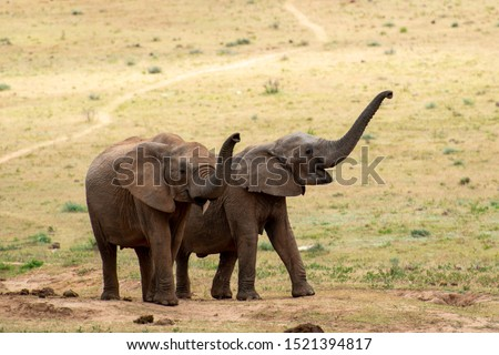 Two young elephants trumpeting playful in the same direction
