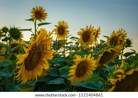 Large yellow sunflowers against the sky, a close-up of the flowers