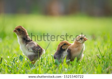 Close up three chicks friends from front view and back view on grass floor in the farm pattern background, Beautiful and adorable chickens on wooden floor for concept design and decoration #1521540722