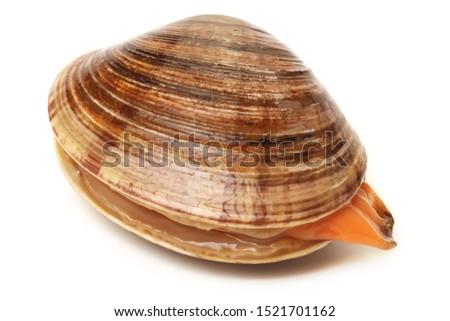 fresh clams on white background #1521701162