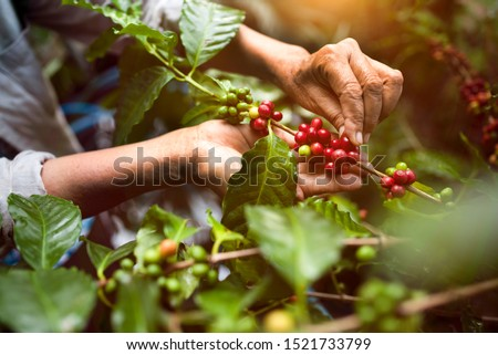 arabica coffee berries with agriculturist handsRobusta and arabica coffee berries with agriculturist hands, Gia Lai, Vietnam #1521733799