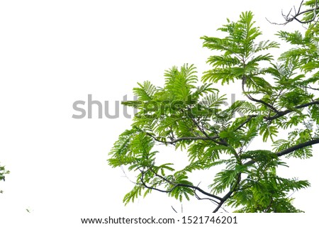 Tropical tree leaves with branches on white isolated background for green foliage backdrop  #1521746201
