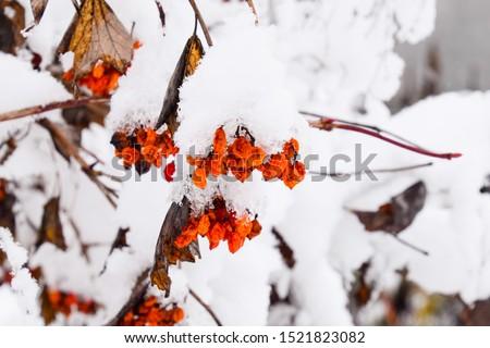 Viburnum berries in the snow. Winter berries on the tree Kalina. #1521823082