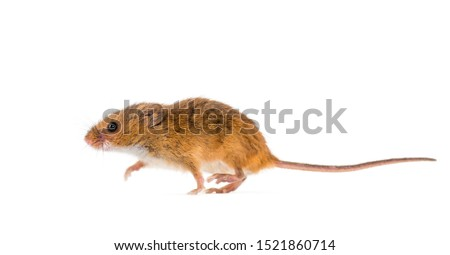 Eurasian harvest mouse, Micromys minutus, in front of white background #1521860714