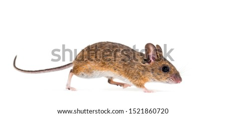 Eurasian mouse, Apodemus species, in front of white background #1521860720