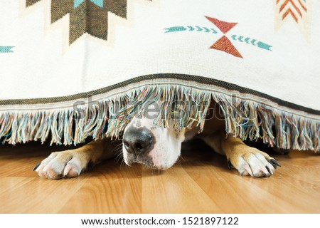 The dog is hiding under the sofa and afraid to go out. The concept of dog's anxiety about thunderstorm, fireworks and loud noises. Pet's mental health, excessive emotionality, feelings of insecurity. #1521897122