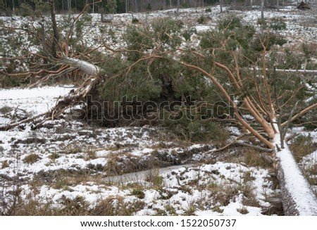 Storm broken trees background. Old coniferous forest after hurricane. Felled pine trunks. Winter picture of Scandinavian forest.