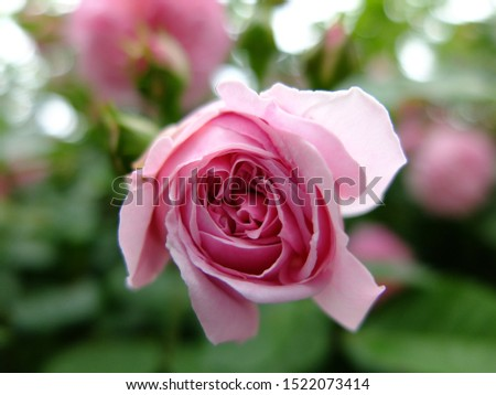 A pink rose in the garden #1522073414