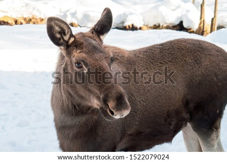 Young moose standing in a winter landscape #1522079024