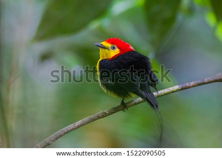 A floodplain specialist bird species, Wire-tailed Manakin, Pipra filicauda, Rabo-de-arame, with details of the back and head. #1522090505