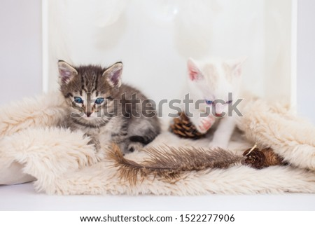 Kittens sit on a fluffy rug. Tabby kitten playing with white. Domestic pets close-up. #1522277906