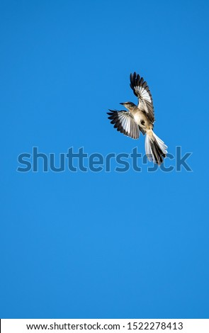 Northern Mockingbird flying with wings out stretched