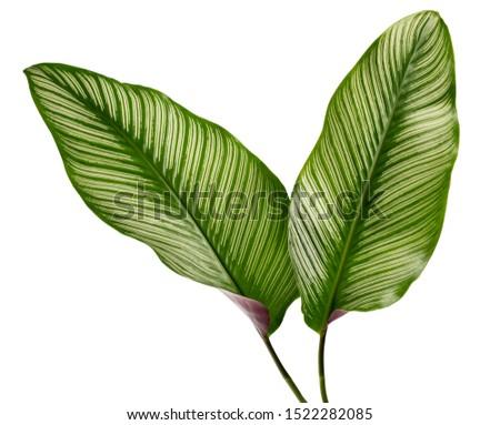 Calathea ornata leaves(Pin-stripe Calathea),Tropical foliage isolated on white background. #1522282085