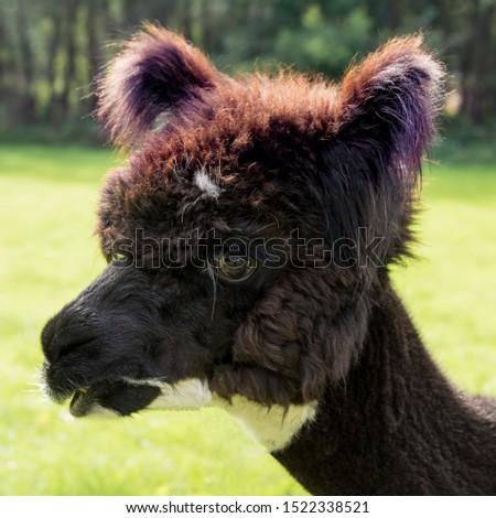 portrait of a black alpaca #1522338521