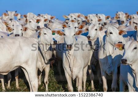 beautiful herd of Nelore cattle, narrow focus, hundreds of heads, Mato Grosso do Sul, Brazil #1522386740