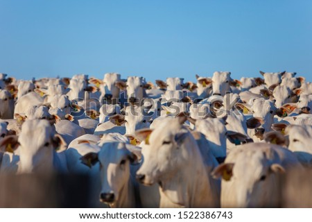 beautiful herd of Nelore cattle, narrow focus, hundreds of heads, Mato Grosso do Sul, Brazil Royalty-Free Stock Photo #1522386743