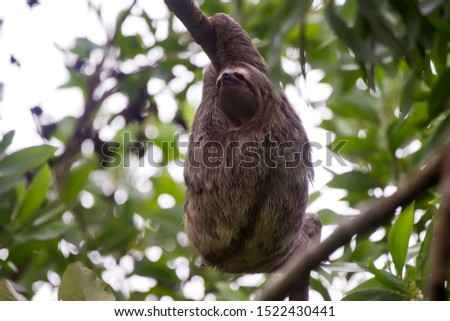 Brown throated sloth photographed in Conceicao da Barra, Espirito Santo. Southeast of Brazil. Atlantic Forest Biome. Picture made in 2013.