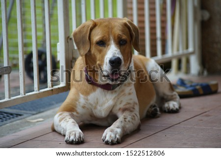 beagle dog sitting on floor and stare #1522512806