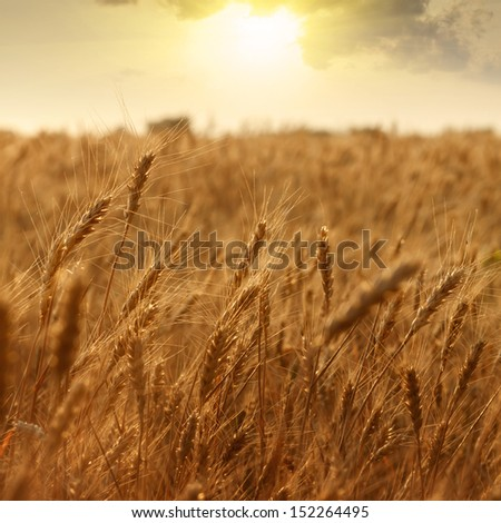 ripening ears of wheat field on the background of the setting sun #152264495