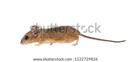 Eurasian mouse, Apodemus species, in front of white background #1522729826