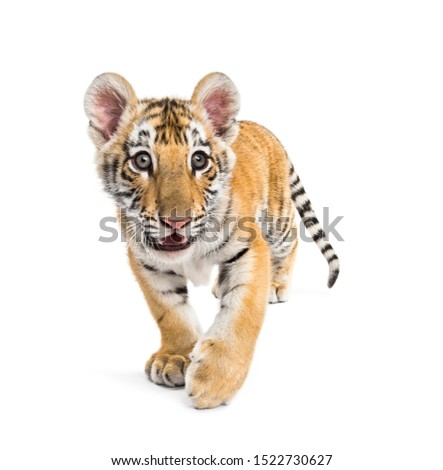 Two months old tiger cub walking against white background #1522730627