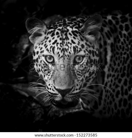 close up Black and White Leopard Portrait #152273585