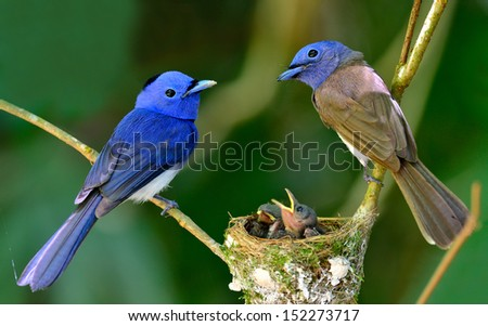 Black-naped Blue Flycatcher parents guarding their chicks in the nest with love, great blue bird family