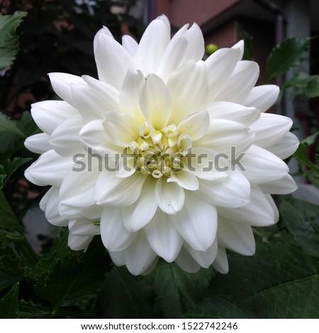 Macro photo white aster flower. Stock photo white blooming aster #1522742246