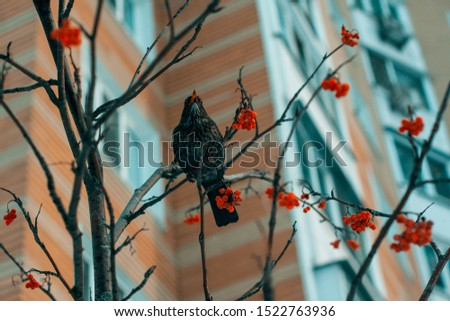 ouzel bird in the winter tree with berries in front of panel house #1522763936