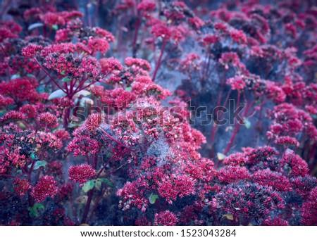 Ermine Moth caterpillars casting silk webs over a vast purple stonecrop sedum perennial plant. #1523043284