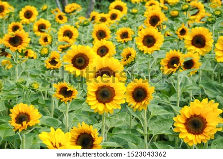 Sunflower (Helianthus annuus) flower blooming on roof garden with selective focus. #1523043362