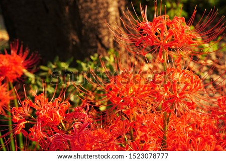 "Cluster amaryllis, Red Spider lily, Cluster belladonna, Red flower Called ""Manju Syage"" in Japanese. In October at Saitama, Japan. #1523078777"